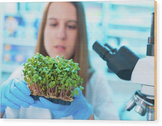 Female Biologist Holding Seedlings Wood Print by Wladimir Bulgar/science Photo Library