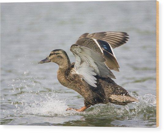 Female Mallard Duck Wood Print by John Devries/science Photo Library