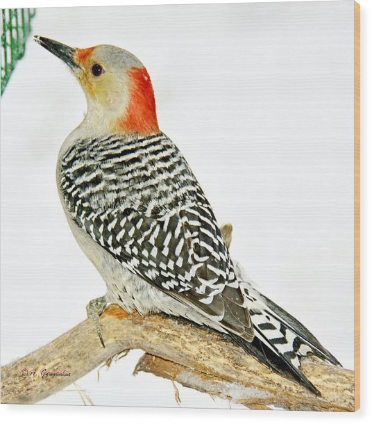 Female Redbellied Woodpecker In Winter Animal Portrait Wood Print