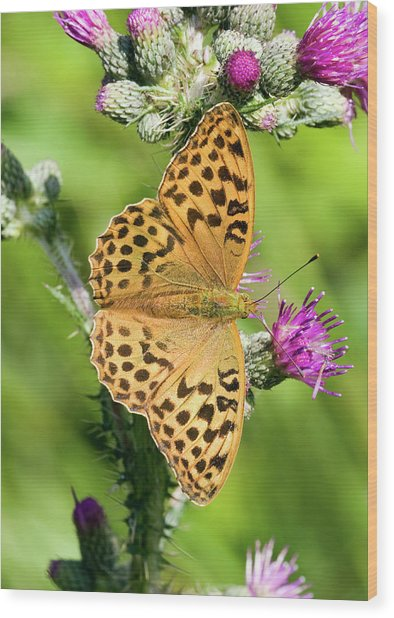 Female Silver-washed Fritillary Wood Print by John Devries/science Photo Library