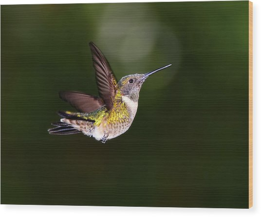 Flight Of A Hummingbird Wood Print