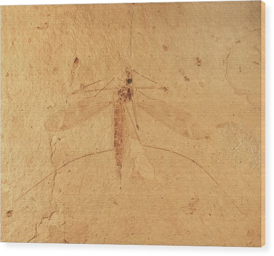 Florissant Formation Insect Fossil Wood Print