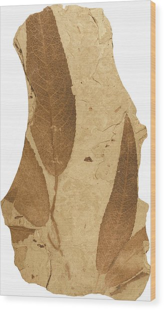 Florissant Formation Plant Fossil Wood Print