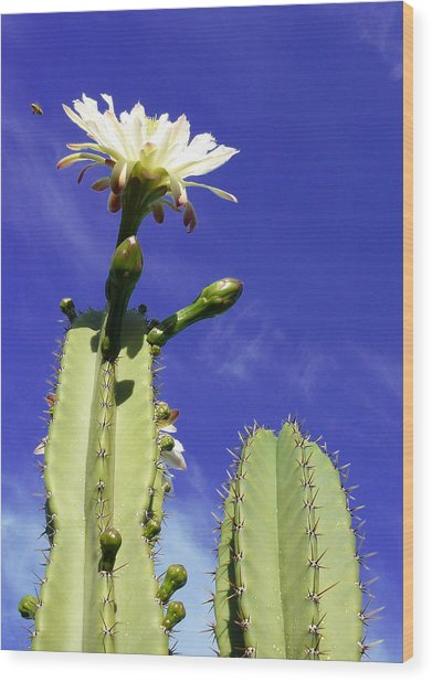 Flowering Cactus 2 Wood Print