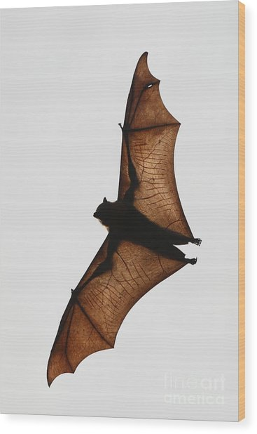 Flying Bat Wood Print