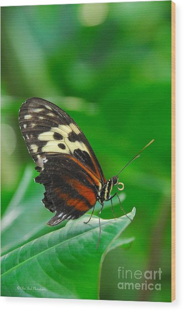 D5l15 Butterfly At Franklin Park Conservatory Wood Print