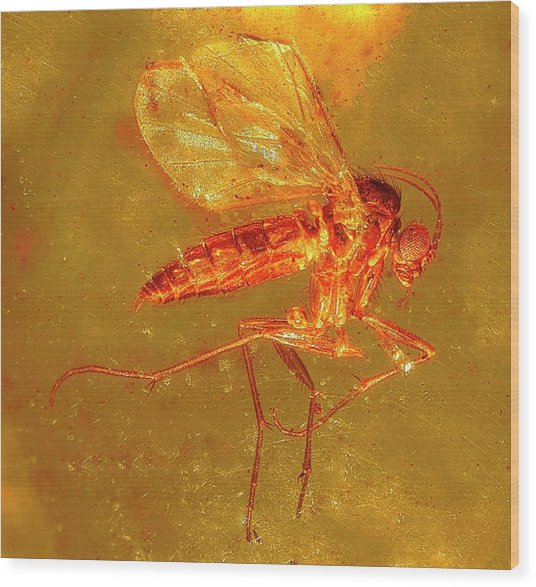 Fungus Gnat In Amber Wood Print by Alfred Pasieka/science Photo Library