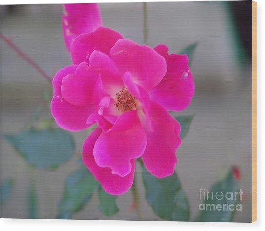 Fushia Knockout Rose 2 Wood Print