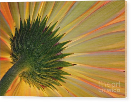Gerbera Fire Wood Print