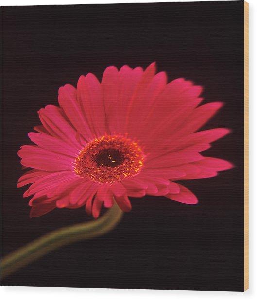 Gerbera Flower Wood Print by Mark Thomas/science Photo Library