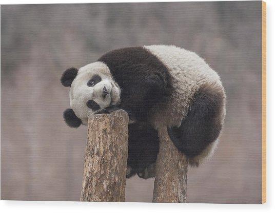 Giant Panda Cub Wolong National Nature Wood Print