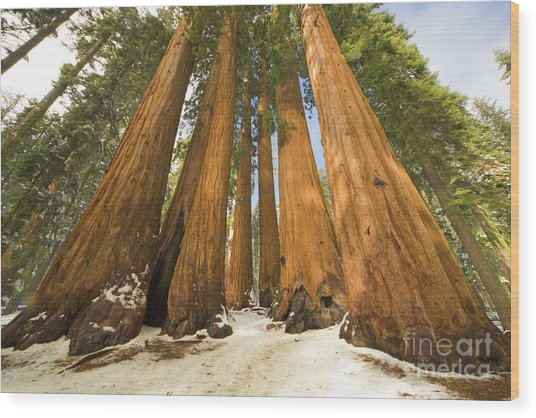 Giant Sequoias Sequoia N P Wood Print