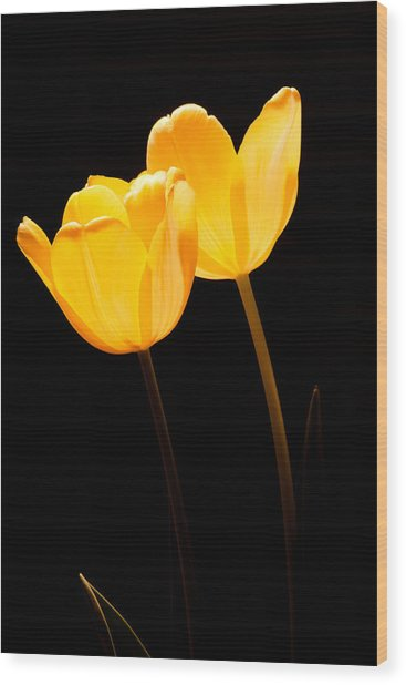 Glowing Tulips II Wood Print