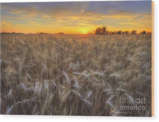 Golden Barley Wood Print