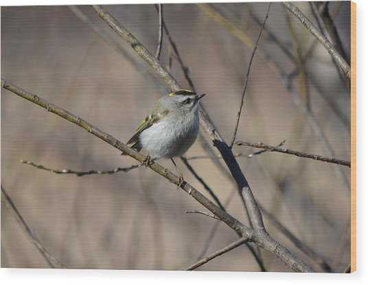 Golden-crowned Kinglet Wood Print