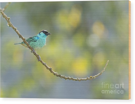 Golden-naped Tanager Wood Print