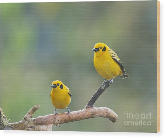 Golden Tanagers Wood Print