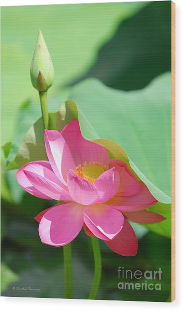 D48l-96 Water Lily At Goodale Park Photo Wood Print