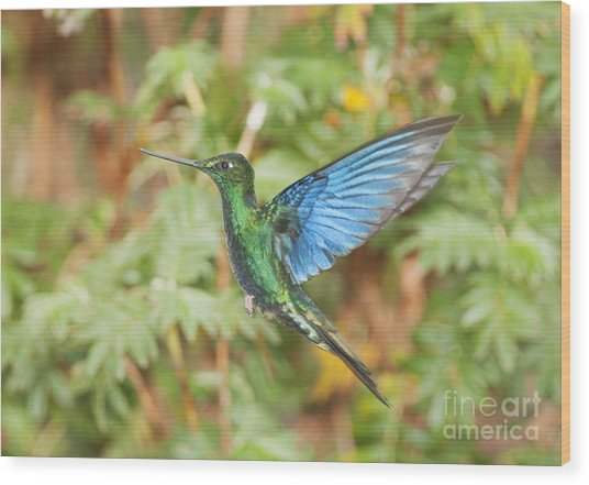 Great Sapphirewing Hummingbird Wood Print