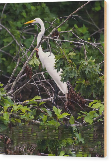 Great White Egret Wood Print