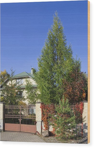 Green Fence Of Trees And Shrubs Wood Print by Aleksandr Volkov