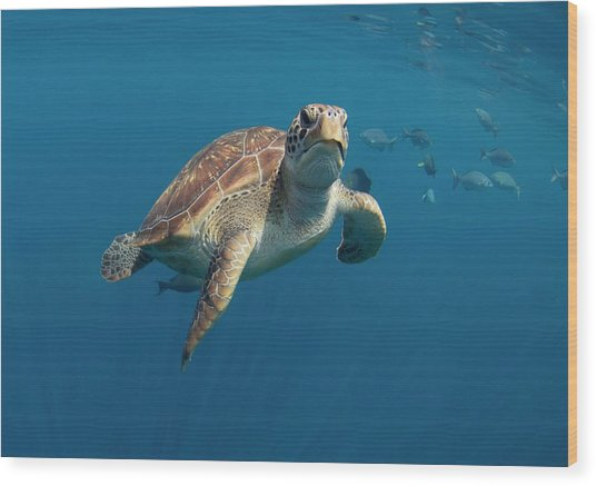 Green Turtle Swimming Wood Print