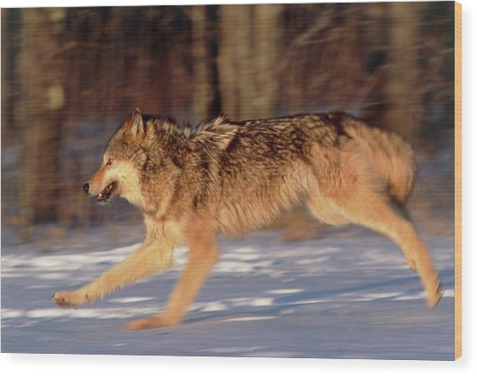 Grey Wolf Running Wood Print by William Ervin/science Photo Library