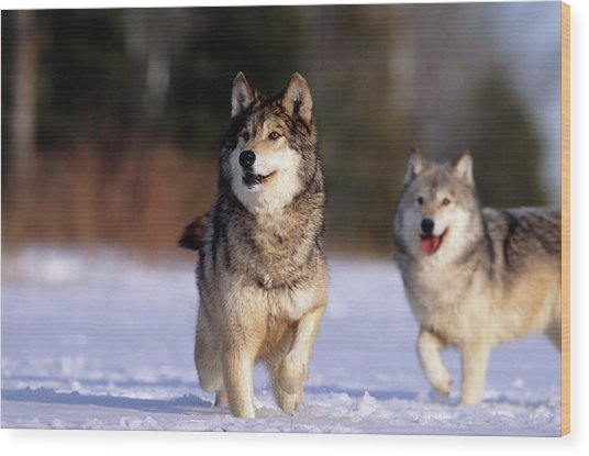 Grey Wolves In Snow Wood Print by William Ervin/science Photo Library
