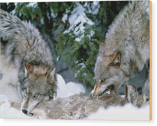 Grey Wolves With A Kill Wood Print by William Ervin/science Photo Library