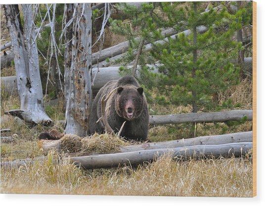 Grizzly Bear Guarding Kill Wood Print