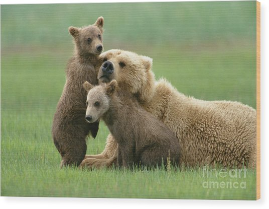 Grizzly Cubs Play With Mom Wood Print