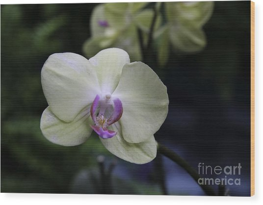 Happiness Is An Orchid  Wood Print by Martha Burger