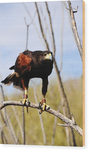 Harris's Hawk Wood Print