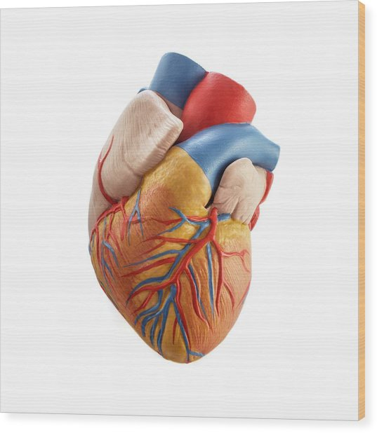 Heart Anatomy Model Photograph by Science Photo Library
