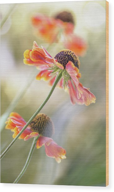 Helenium* Wood Print by Mandy Disher
