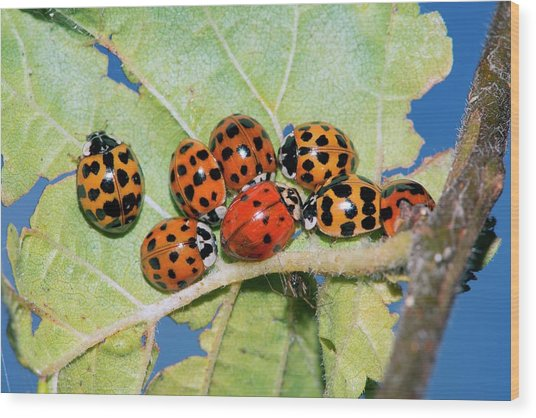 Hibernating Harlequin Ladybirds Wood Print by Dr. John Brackenbury