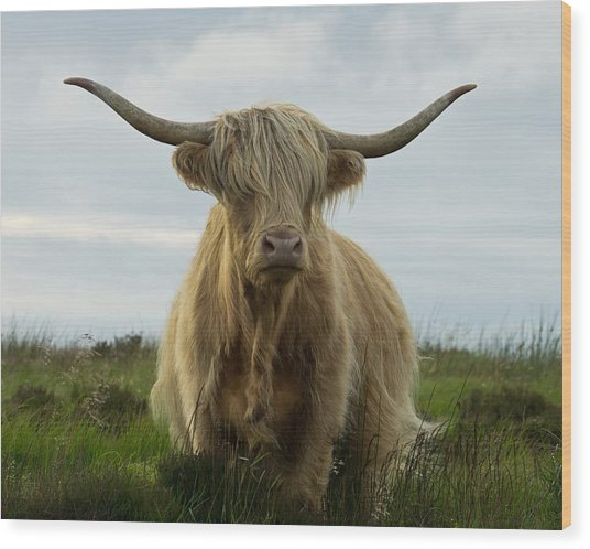 Highland Cow On Exmoor Wood Print