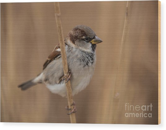 House Sparrow Passer Domesticus Wood Print
