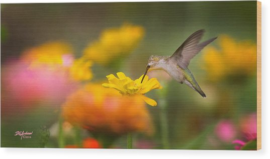 Hummer On Zinnia Wood Print