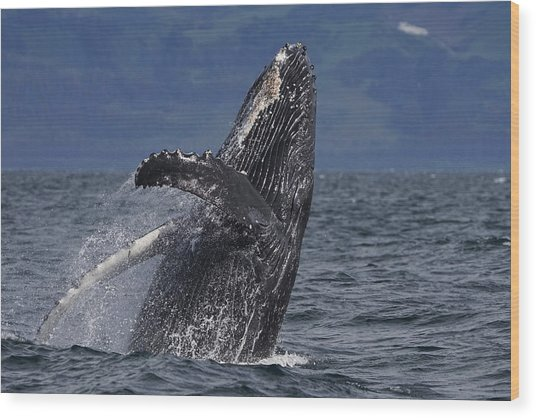 Humpback Whale Breaching Prince William Wood Print