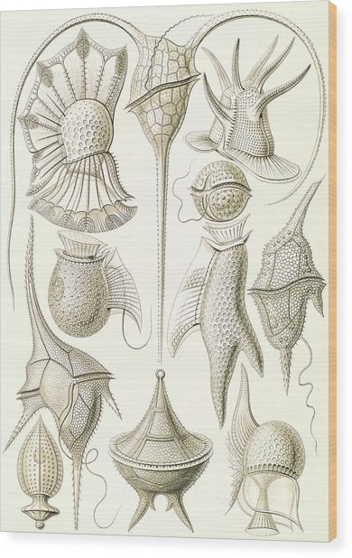 Illustration Shows Microorganisms. Peridinea Wood Print by Artokoloro