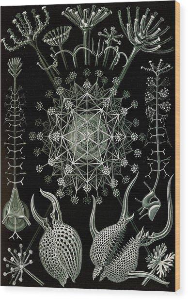Illustration Shows Microorganisms. Phaeodaria Wood Print by Artokoloro
