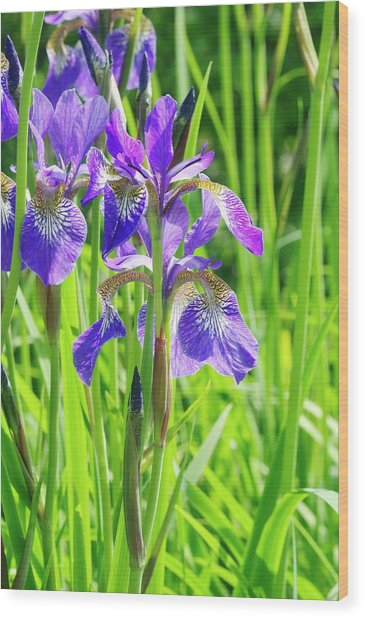 Iris Sibirica 'cambridge' Wood Print by Neil Joy/science Photo Library