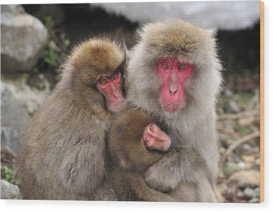 Japanese Macaque Mother With Young Wood Print