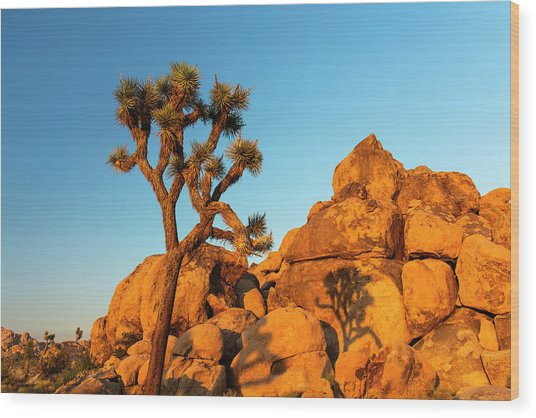 Joshua Tree (yucca Brevifolia) Wood Print by Michael Szoenyi