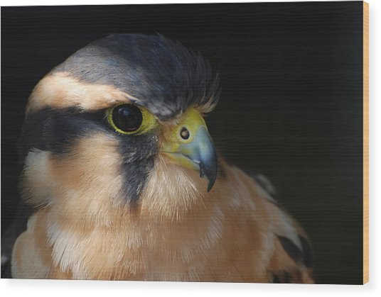Kestrel Falcon Wood Print