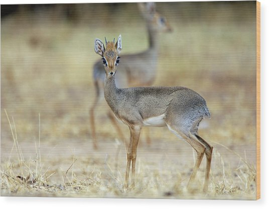 Kirk's Dik-dik Wood Print by Dr P. Marazzi/science Photo Library