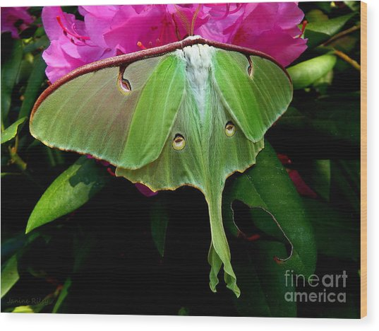Lady Luna Moth Wood Print