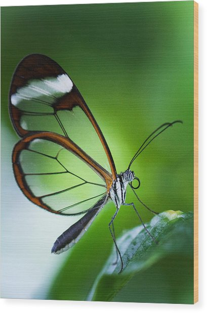Macro Photograph Of A Glasswinged Butterfly Wood Print