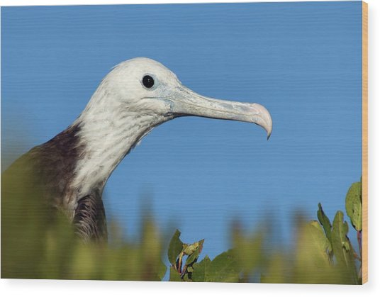 Magnificent Frigate Bird Wood Print by Christopher Swann/science Photo Library